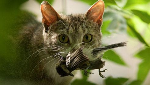 NZ should follow Australian cat control laws